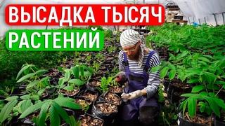 Малина 600 кустов, 200 лимонов и бананов. Высадили тысячи елей. Наши инжиры, северные орехи и сады!