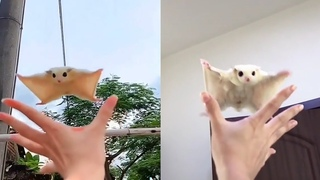 Cute white sugar glider flying down into owner hand video