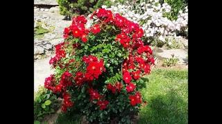 почвопокровные розы, питомник роз полины козловой, интернет-магазин