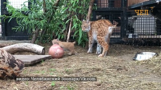 В Челябинском зоопарке впервые родились рысята