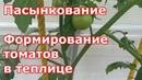 Пасынкование томатов. Формирование индетерминантных томатов в теплице в один и два ствола.