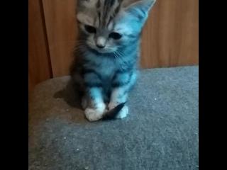 Мраморные шотландские котята. Дочка Лизы и Персика.
