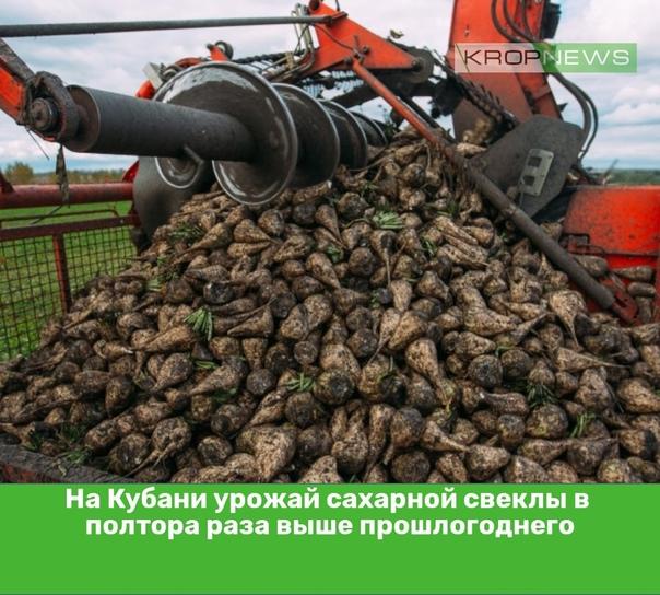 На Кубани урожай сахарной свеклы в полтора раза вы...