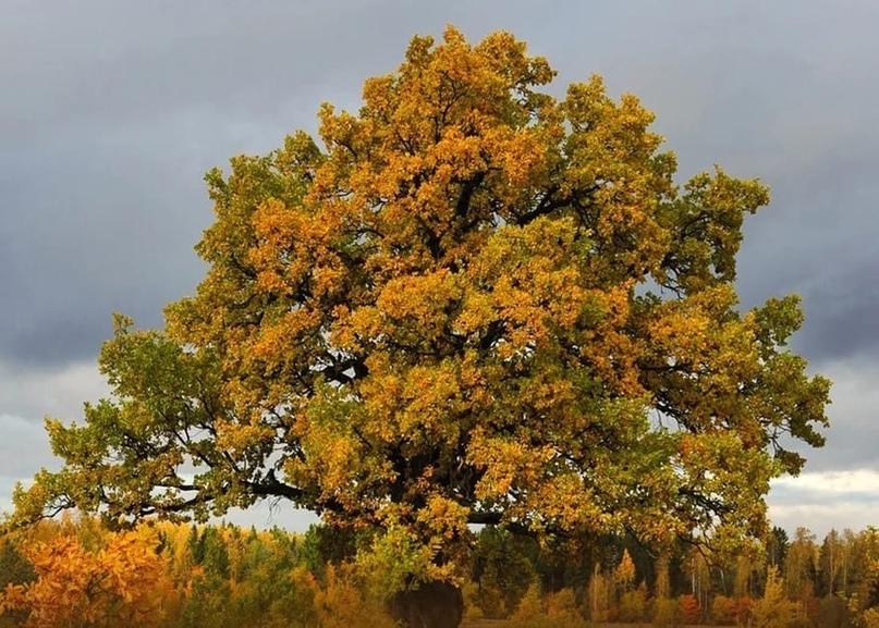 ⚡️Дуб черешчатый (Quercus robur L.) из Ивановской области вошел в национальный реестр старовозрастных деревьев России,... [читать продолжение]